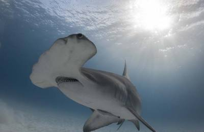 great hammerhead shark diving in bimini bahamas