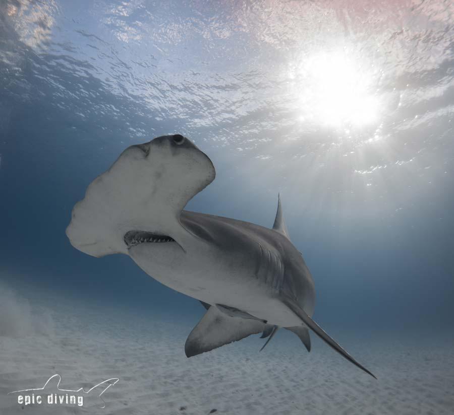 Great Hammerhead Shark - Epic Diving