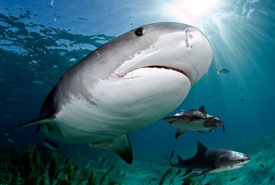 tiger shark diving tiger beach bahamas