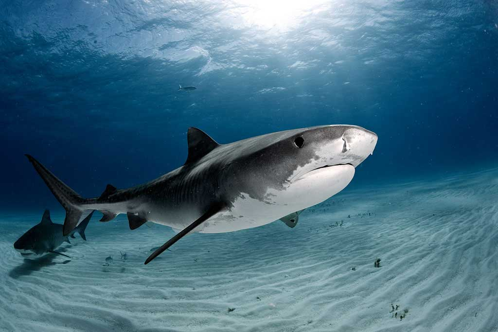 Cayman Islands Shark Diving