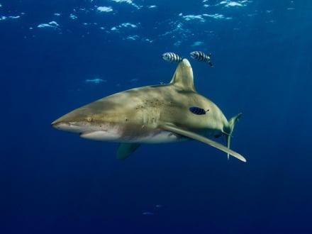 oceanic whitetip shark diving bahamas