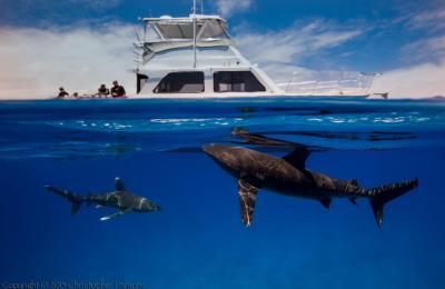 oceanic whitetip shark epic diving