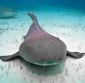nurse shark diving bahamas