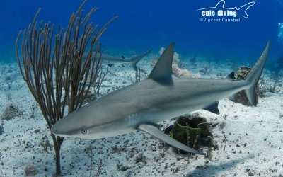 shark diving with caribbean reef sharks