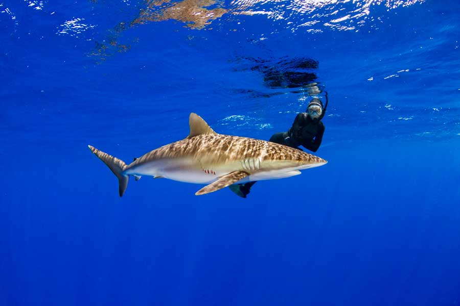 Silky Shark Photos, Images & Pictures