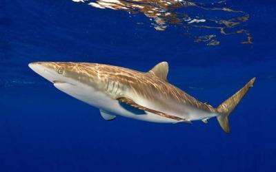 silky shark diving bahamas