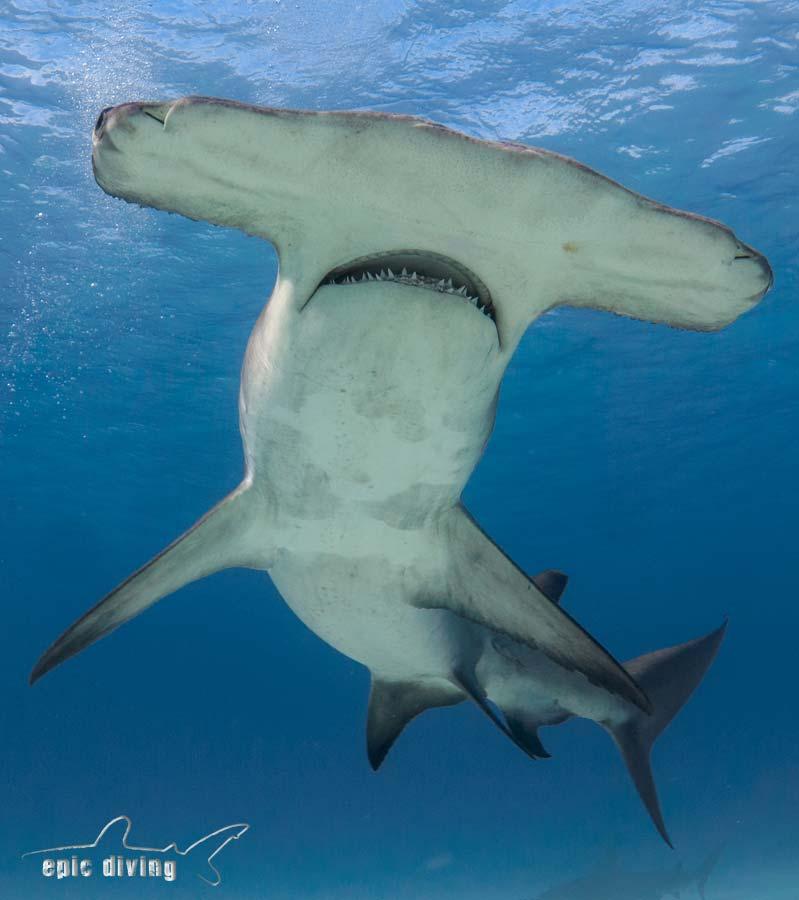 Great Hammerhead Shark Diving: Bimini - Epic Diving