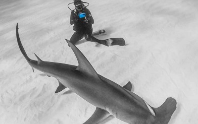 Nauticam iPhone housing shooting a great hammerhead shark in bimini
