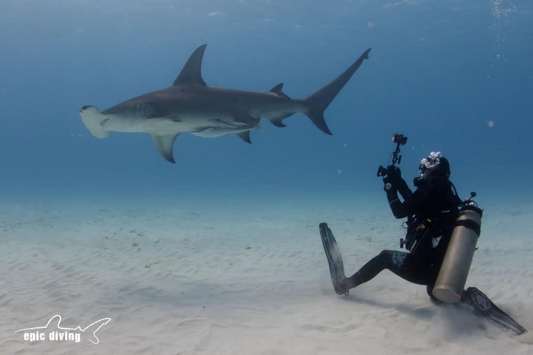 great hammerhead shark diving bimini epic diving