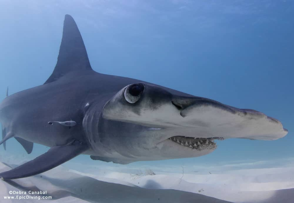Great hammerhead shark diving bimini epic diving for Sharks fish chicken little rock ar