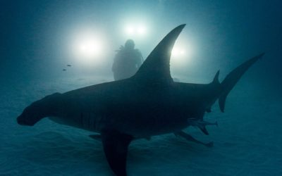 amanda cotton great hammerhead night dive