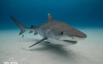 tiger shark bahamas diving