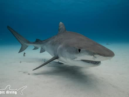 tiger shark bahamas diving