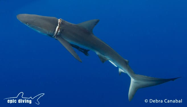 epic diving dusky shark rescue