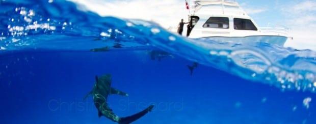 oceanic whitetip thresher shark diving
