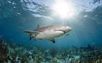 shark diving with lemon sharks