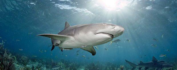 shark diving with lemon sharks