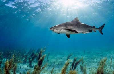 daniel botelho tiger shark tiger beach photo