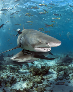 shark diving at tiger beach with lemon sharks