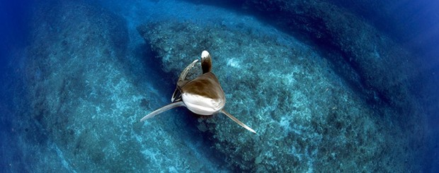 oceanic whitetip shark diving with daniel botelho