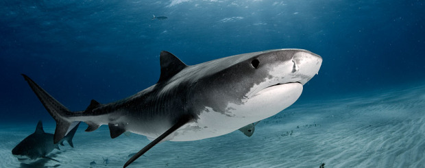 daniel botelho tiger shark dive