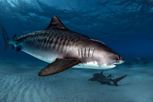 Tiger sharks at tiger beach bahamas