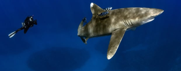 scuba diving oceanic whitetip shark cat island bahamas