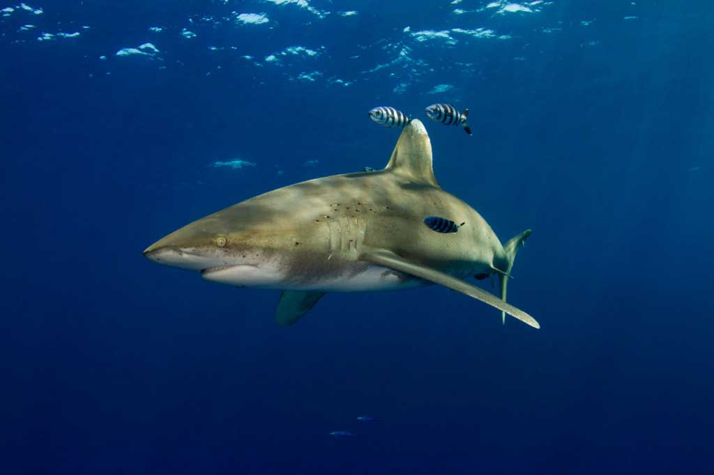 oceanic whitetip shark diving