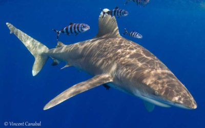 Oceanic Whitetip Shark cat island