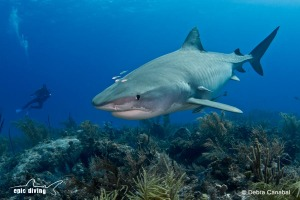 tiger shark diving on the reefs of tiger beach