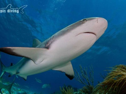 diving with caribbean reef sharks