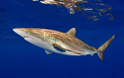 silky shark diving bahamas