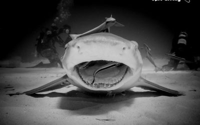 lemon shark cleaning Tiger Beach Bahamas