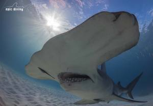 bahamas shark diving great hammerhead bimini