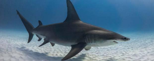 great hammerhead shark diving in bimini bahamas
