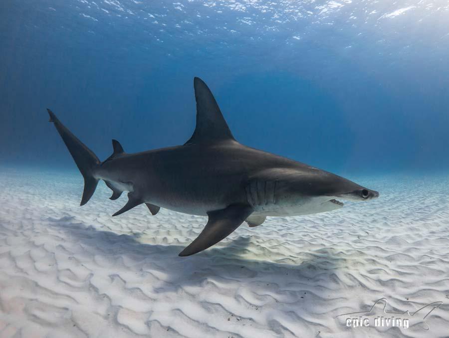 Long Beach Tiger Sharks