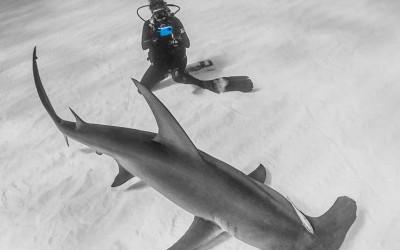 Nauticam iPhone housing shooting a great hammerhead shark in bimini