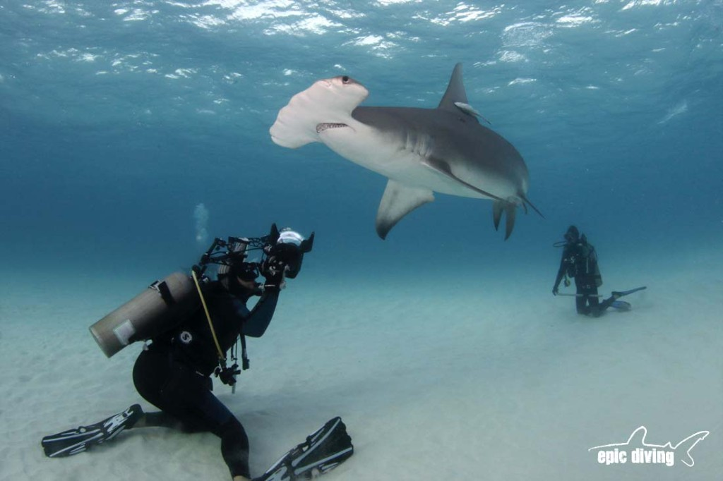 great hammerhead shark diving in bimini