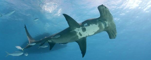 great hammerhead diving in bimini bahamas