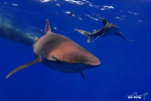 whitetip shark diving on cat island in the bahamas