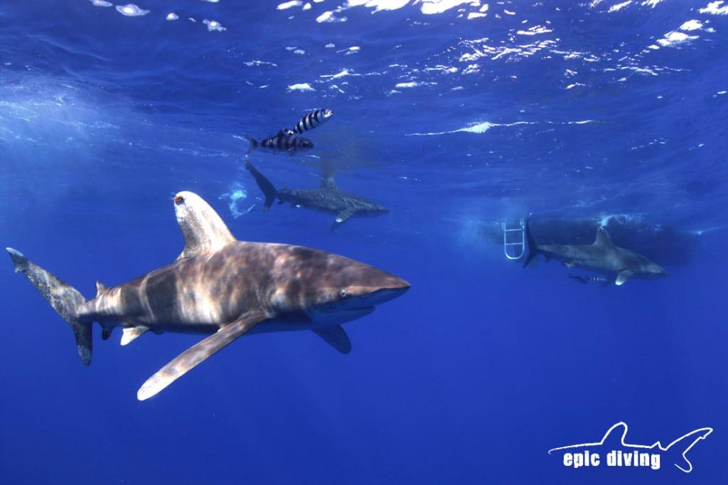 oceanic whitetip shark cat island bahamas shark diving