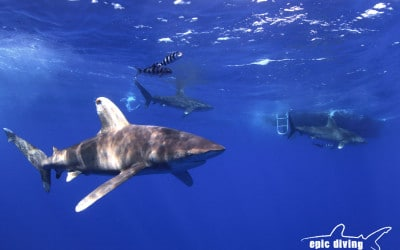 oceanic whitetip shark cat island bahamas shark diving
