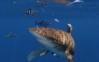 oceanic whitetip shark pilot fish cat island bahamas