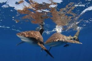 oceanic whitetip sharks cat island bahamas shark diving
