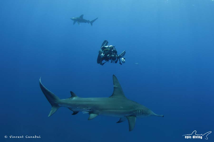oceanic whitetip and great hammerhead shark diving bahamas