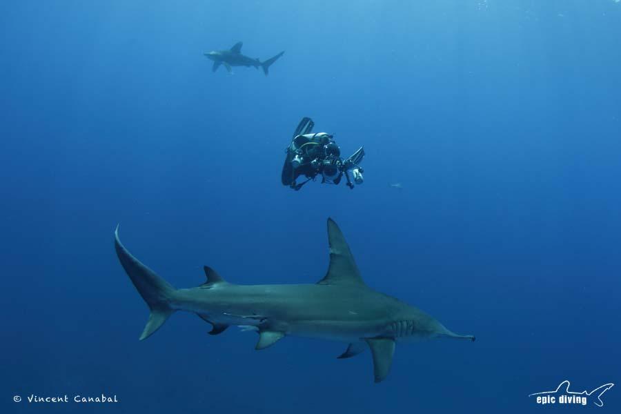 oceanic whitetip and great hammerhead shark diving bahamas