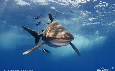 Oceanic Whitetip Shark and Pilot Fish cat island bahamas