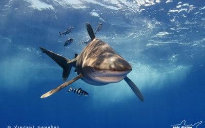 Oceanic Whitetip Shark and Pilot Fish cat island bahamas