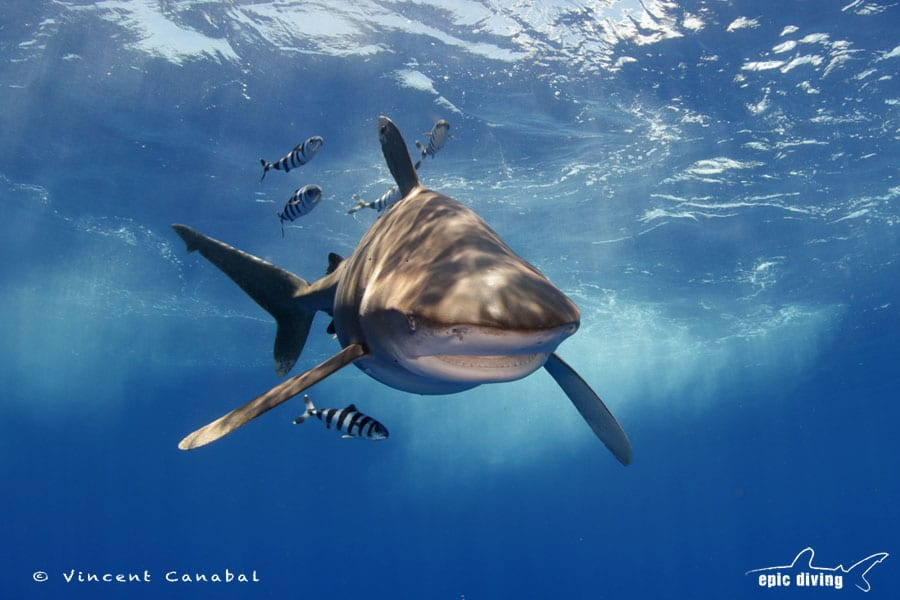 dive with oceanic whitetip sharks bahamas shark diving