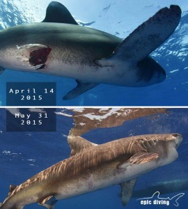 oceanic whiteitp shark heals from wound